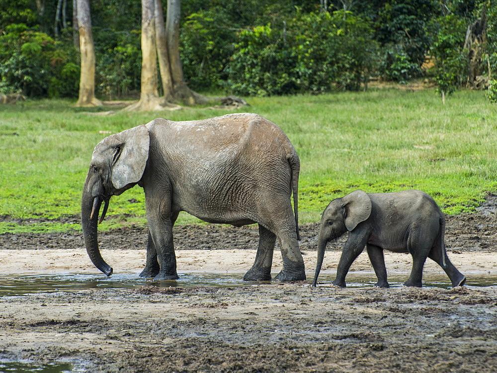 African forest elephant (Loxodonta cyclotis) with baby , Dzanga Bai, UNESCO World Heritage Site, Dzanga-Sangha Special Reserve, Central African Republic, Africa - 1184-2242