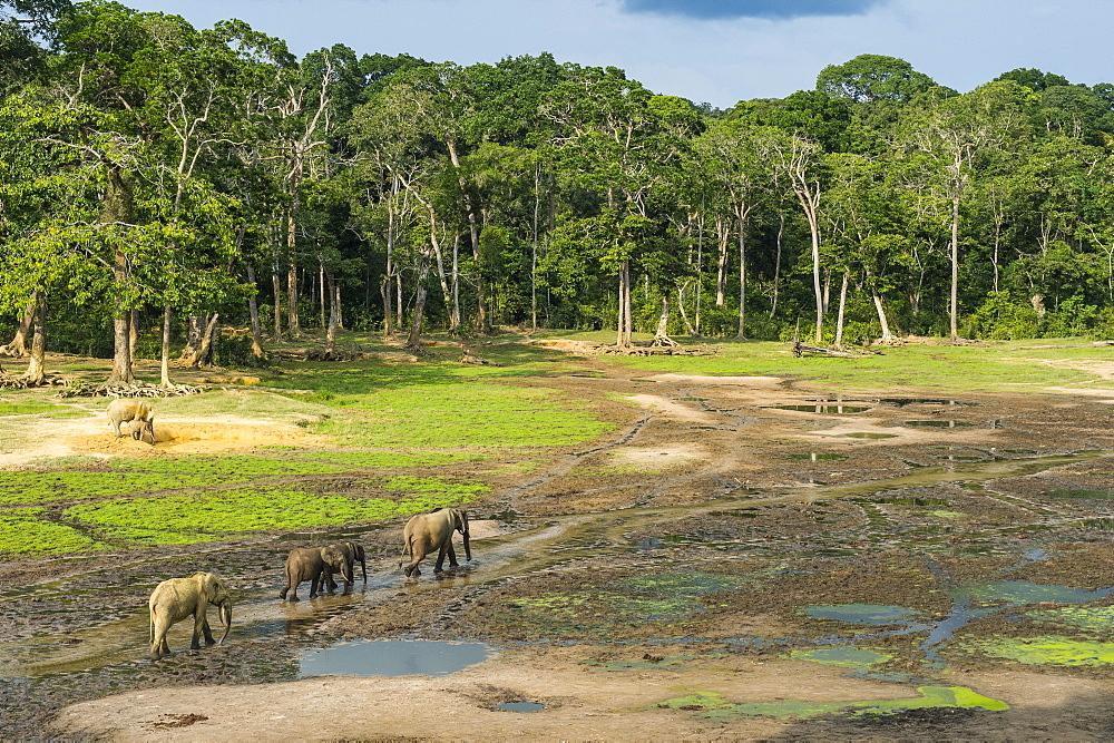 African forest elephants (Loxodonta cyclotis) at Dzanga Bai, UNESCO World Heritage Site, Dzanga-Sangha Special Reserve, Central African Republic, Africa - 1184-2244