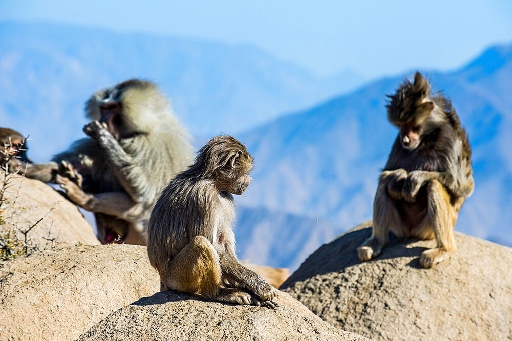 Baboons on mountain cliff, Abha, Saudi Arabia, Middle East