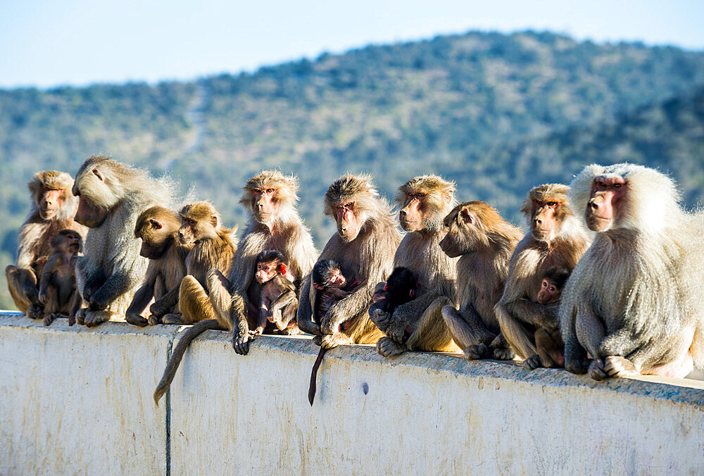 Baboons posing on Mount Souda, highest mountain in Saudi Arabia, Abha, Saudi Arabia