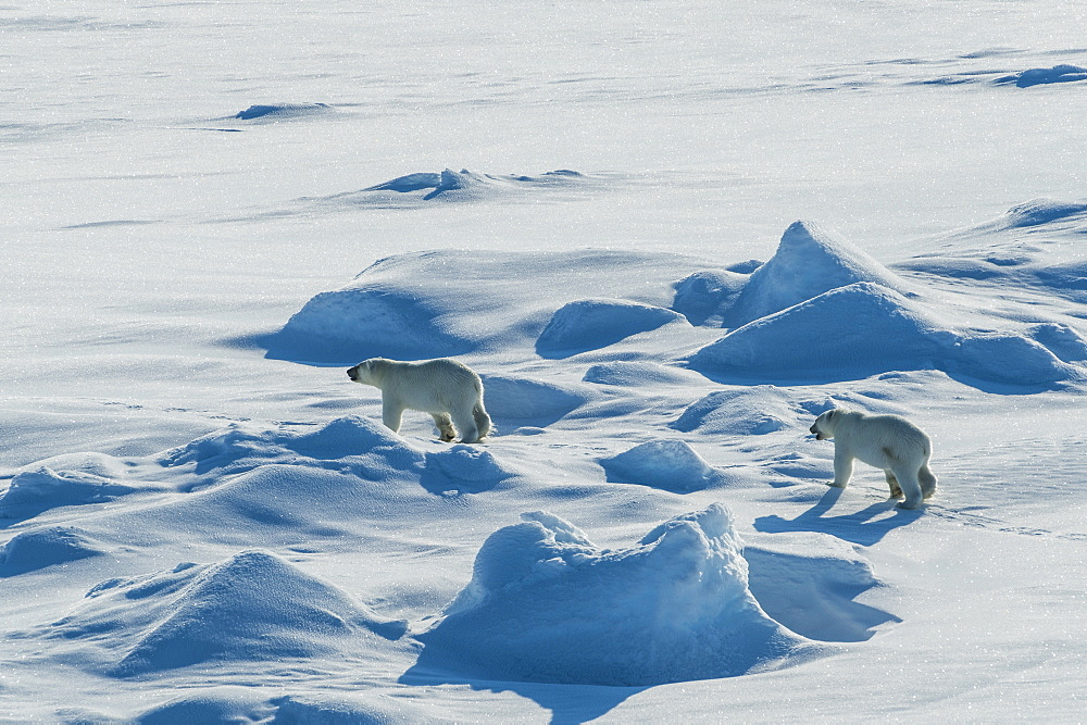 Polar bear cubs(Ursus maritimus) in the high arctic near the North Pole, Arctic, Russia, Europe
