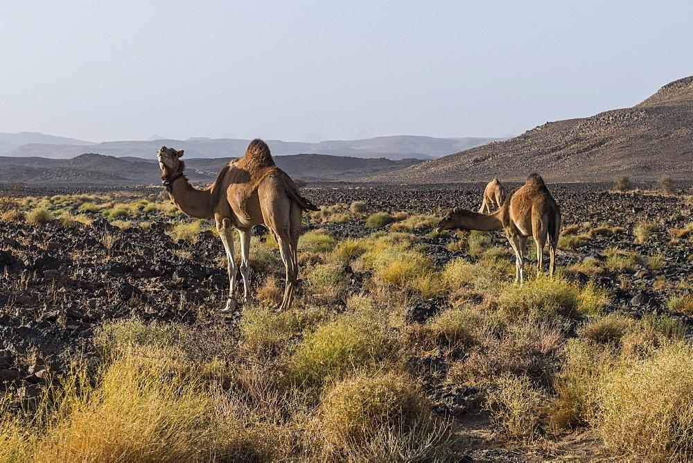Camels in Assekrem, Tamanrasset, Hoggar mountains, Algeria, North Africa, Africa