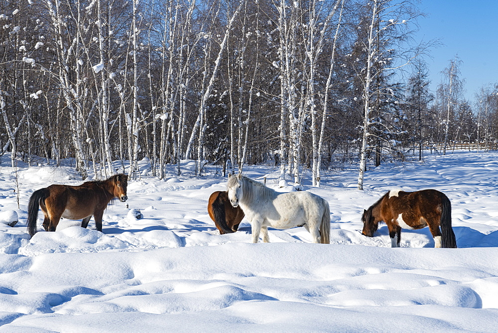 Yakutian horses, Unesco world heritage sight Lena Pillars, Sakha republic, Russia