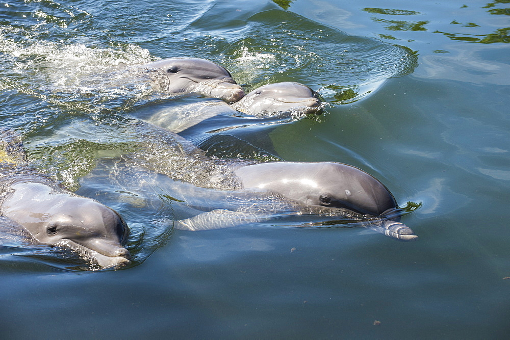Bottlenose Dolphins, Tursiops tursiops, Grassy Key, Florida, United States of America, North America