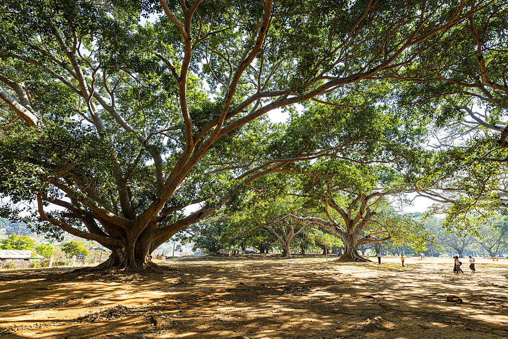 Hundred-year-old banyan trees in Pindaya, Shan state, Myanmar (Burma), Asia