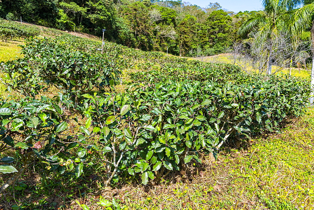 Tea plants, antique Assam Tea Farm, Sun Moon Lake National Scenic Area, Nantou county, Taiwan