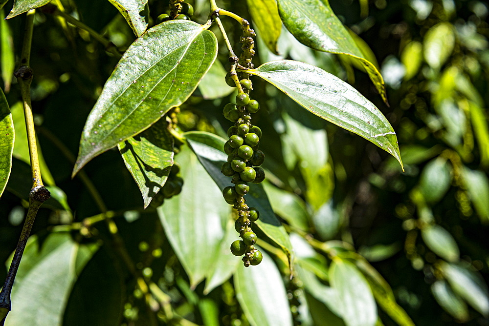 Black pepper close up (Piper nigrum) on a pepper farm, island of Phu Quoc, Vietnam