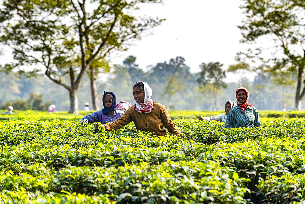 Women picking tea from the tea plants on a tea plantation, Assam, India, Asia