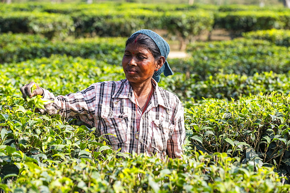 Woman picking tea from tea plants on a tea plantation, Assam, India, Asia