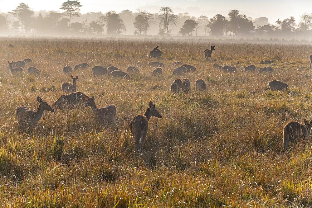 Huge numbers of Indian hog deer (Hyelaphus porcinus), Kaziranga National Park, UNESCO World Heritage Site, Assam, India, Asia
