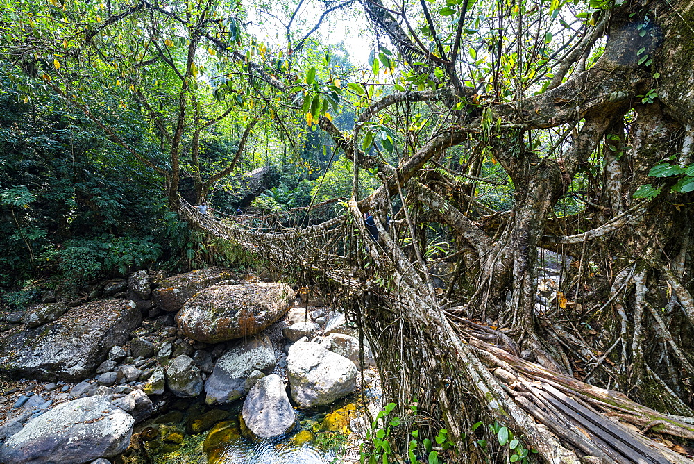 Living Root Bridge, Sohra or Cherrapunjee, Meghalaya, India