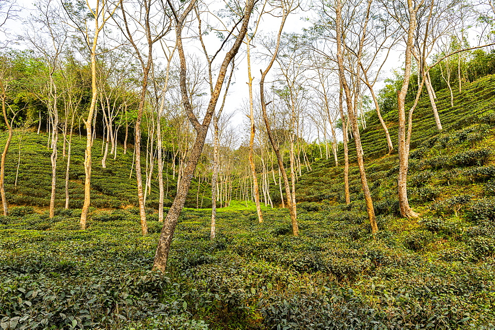 Tea plants on a Tea plantation in Sreemagal, Bangladesh
