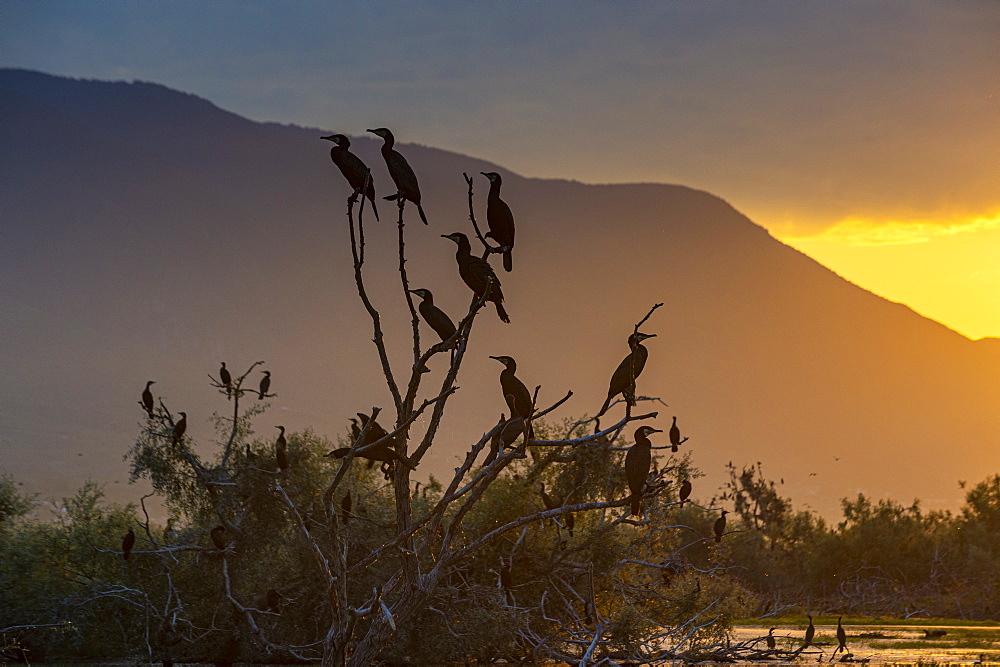Phalacrocoracidae, Cormorants sitting in a tree at sunrise,, Kerkini lake, Macedonia, Greece