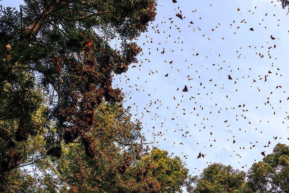 Unesco site Monarch Butterfly Biosphere Reserve, El Rosario, Michoacan, Mexico - 1184-5467