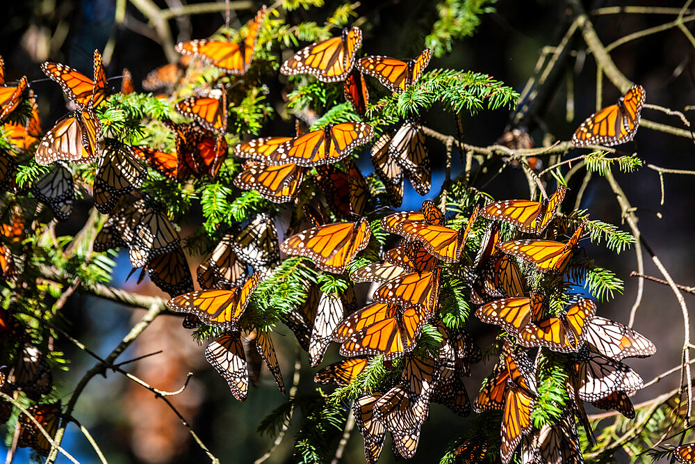 Millions of Butterflies covering trees in the Unesco site Monarch Butterfly Biosphere Reserve, El Rosario, Michoacan, Mexico - 1184-5468