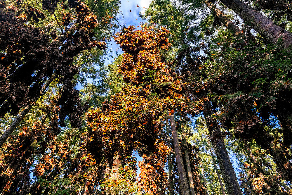 Millions of Butterflies covering trees in the Unesco site Monarch Butterfly Biosphere Reserve, El Rosario, Michoacan, Mexico - 1184-5471