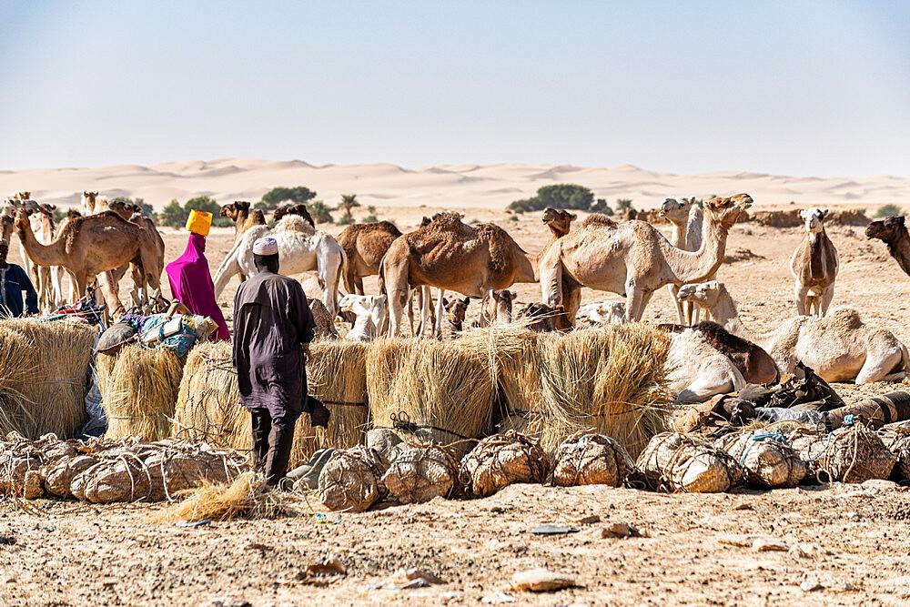 Tuaregs prepare their camels to transport salt through the desert from Bilma, Tenere desert, Niger, West Africa, Africa - 1184-5591