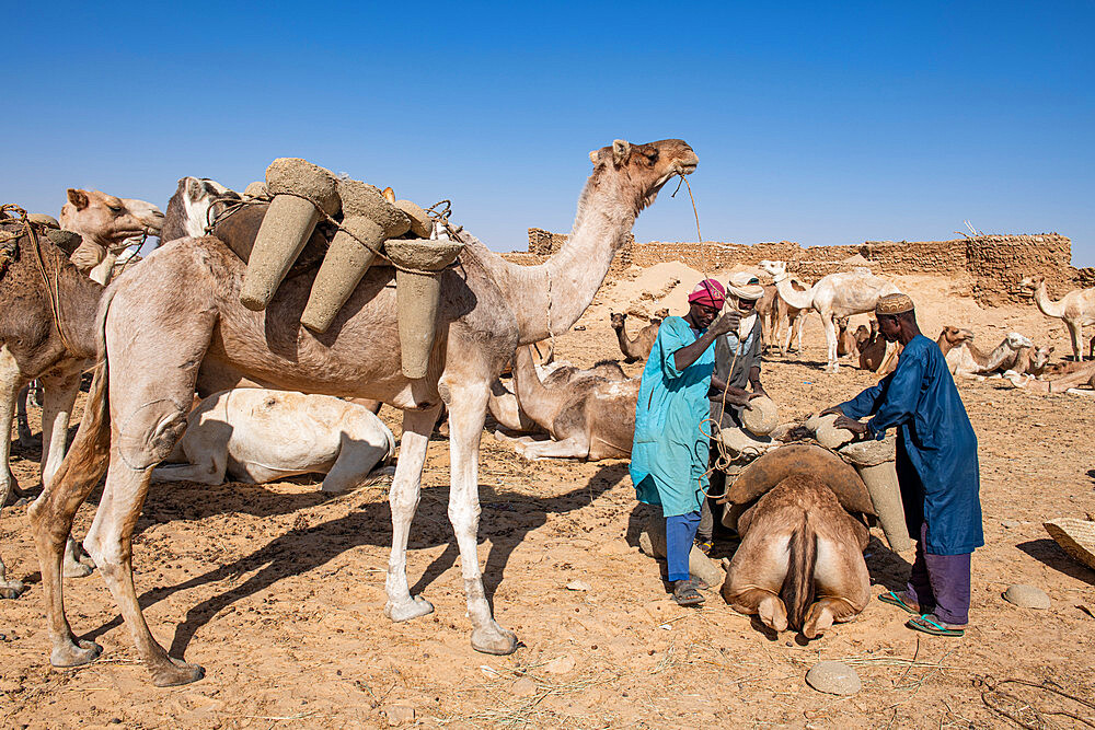 Camels getting loaded with salt cylinders, Bilma, Tenere desert, Niger, West Africa, Africa - 1184-5593