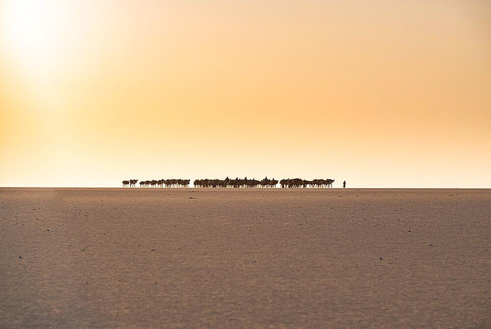 Salt caravan transporting salt through the desert, Oasis Fachi, Tenere desert, Niger, West Africa, Africa - 1184-5603