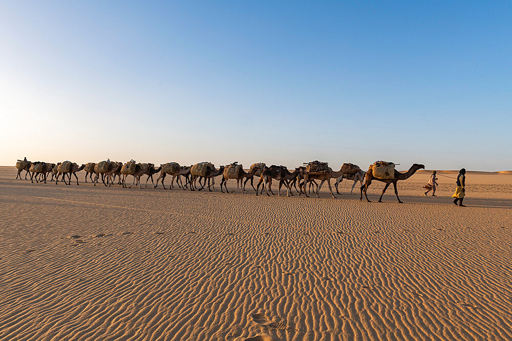 Salt caravan transporting salt through the desert, Oasis Fachi, Tenere desert, Niger, West Africa, Africa - 1184-5604