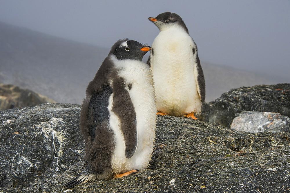 Long-tailed gentoo penguins (Pygoscelis papua), Gourdin Island, Antarctica, Polar Regions