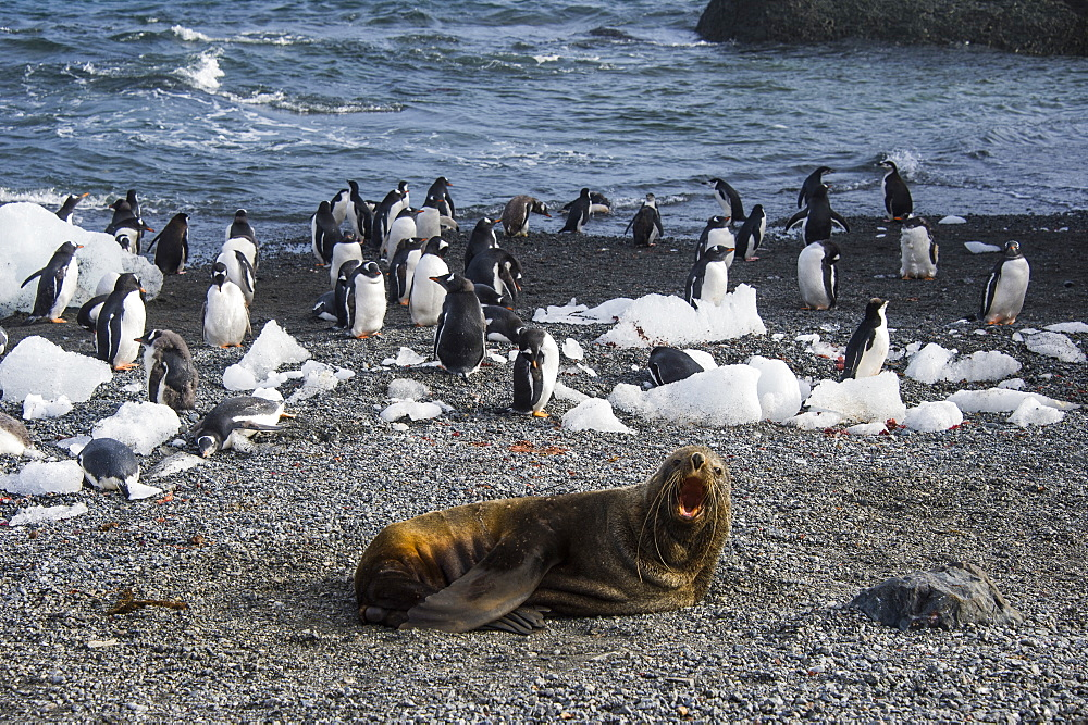Antarctic fur seal (Arctocephalus gazella) in front of a colony of long-tailed gentoo penguins (Pygoscelis papua), Gourdin Island, Antarctica, Polar Regions