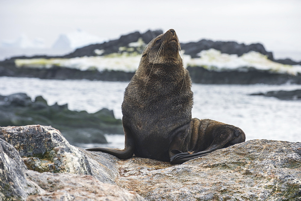 Antarctic fur seal (Arctocephalus gazella), Gourdin Island, Antarctica, Polar Regions