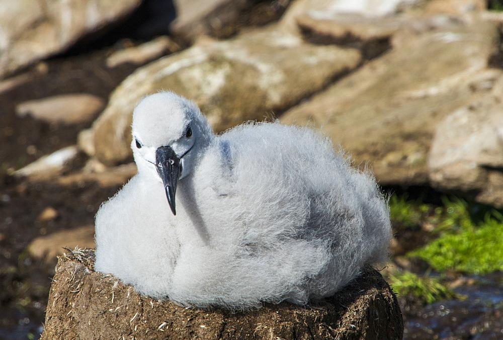 Black-browed albatross chick (Thalassarche melanophris), Saunders Island, Falklands, South America