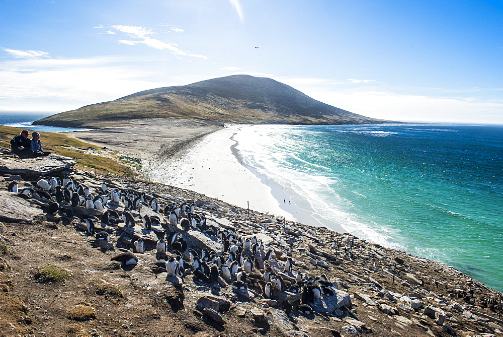 Southern rock hopper penguin colony (Eudyptes chrysocome) with the Neck isthmus in the background, Saunders Island, Falklands, South America