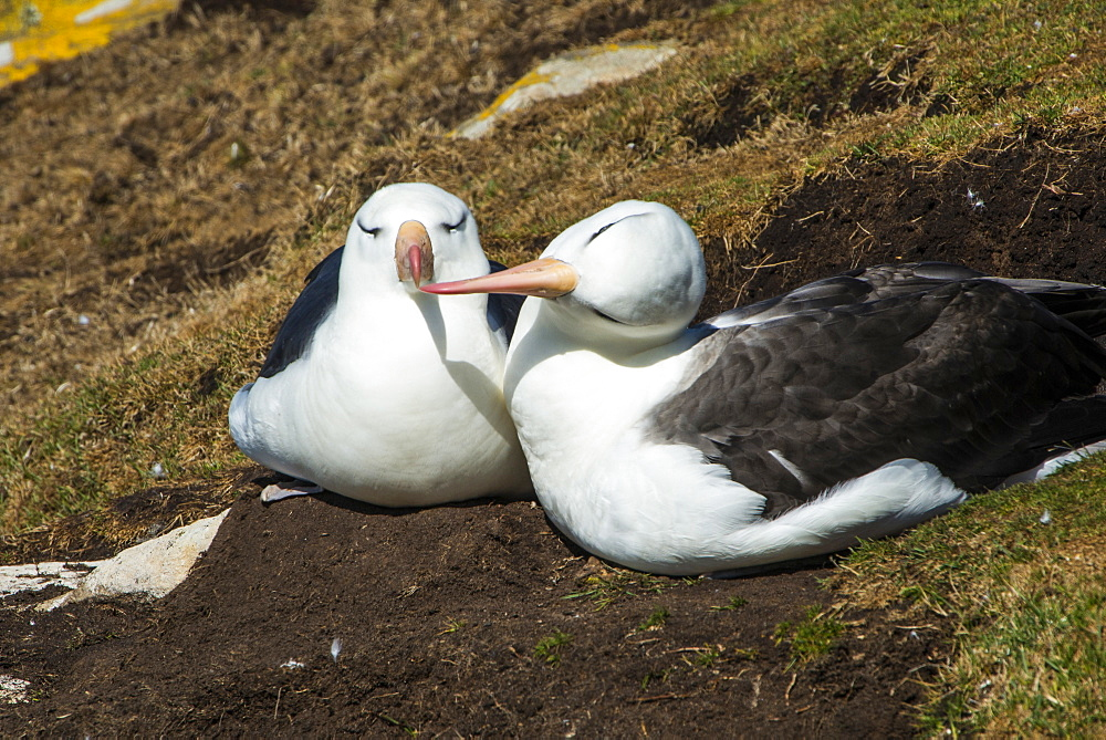 Black-browed albatross (Thalassarche melanophris) love, Saunders Island, Falklands, South America