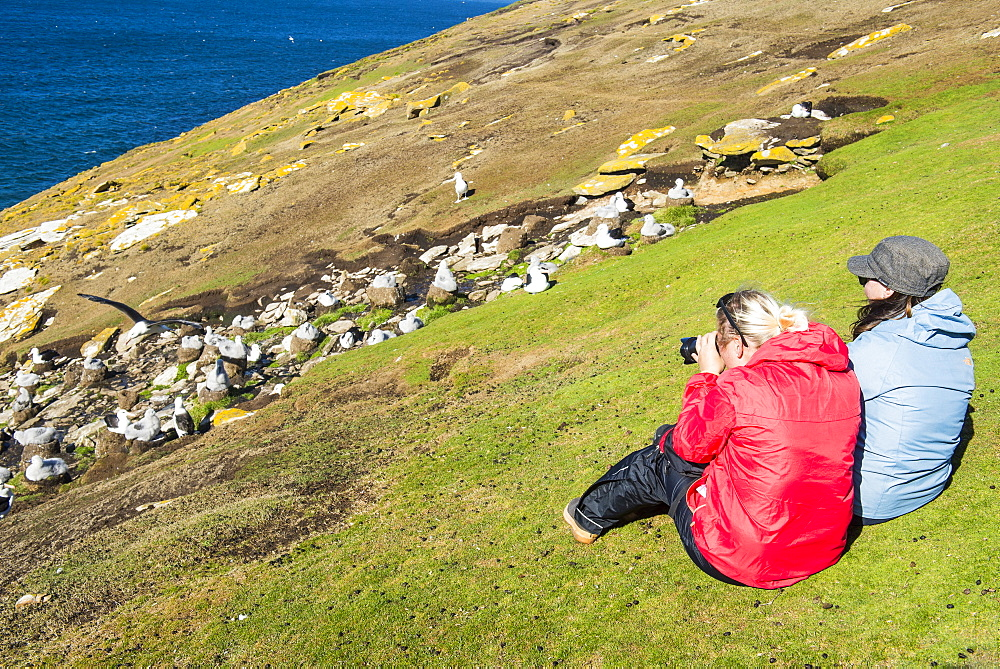 Tourists watching a colony of black-browed albatross (Thalassarche melanophris), Saunders Island, Falklands, South America
