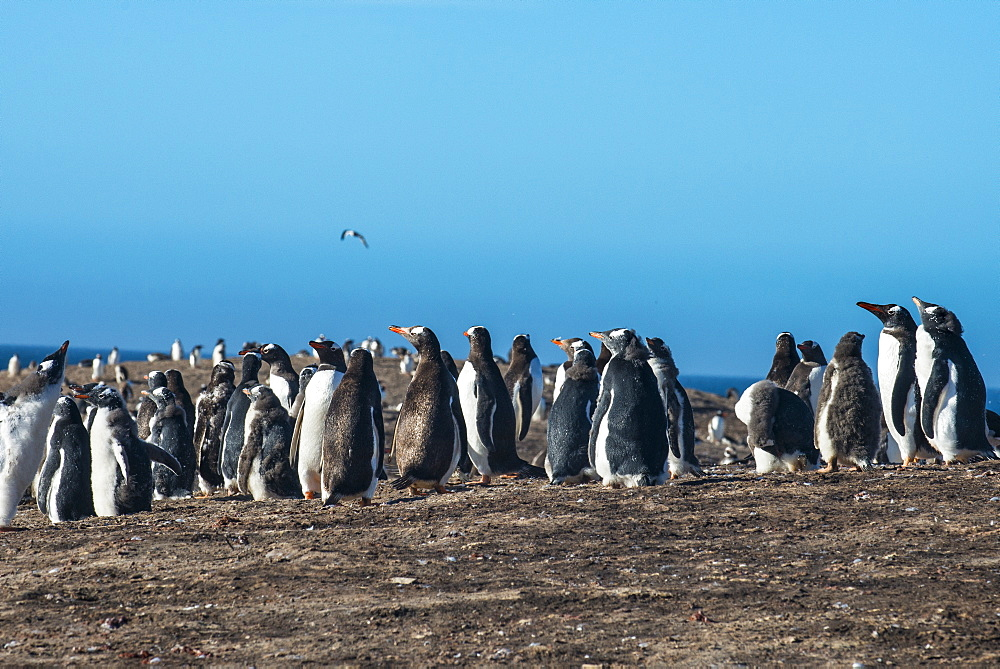 Long-tailed gentoo penguin colony (Pygoscelis papua), Saunders Island, Falklands, South America