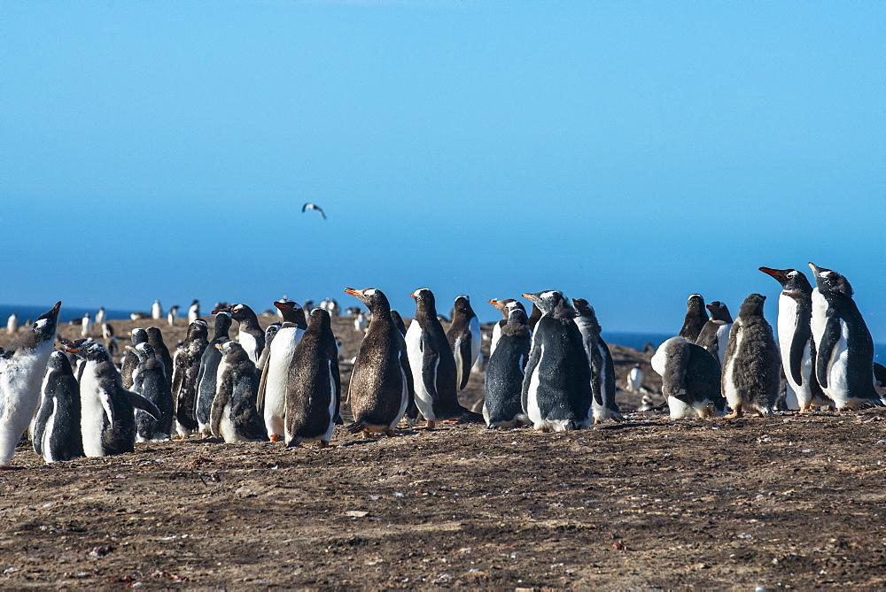 Long-tailed gentoo penguin colony (Pygoscelis papua), Saunders Island, Falklands, South America