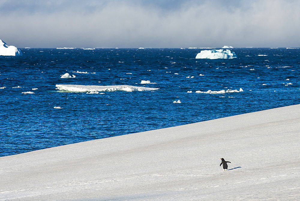 Little gentoo penguin walking on a glacier, Brown Bluff, Antarctica, Polar Regions