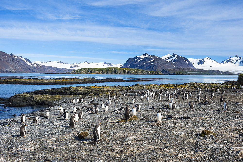 Gentoo penguins (Pygoscelis papua) colony, Prion Island, South Georgia, Antarctica, Polar Regions