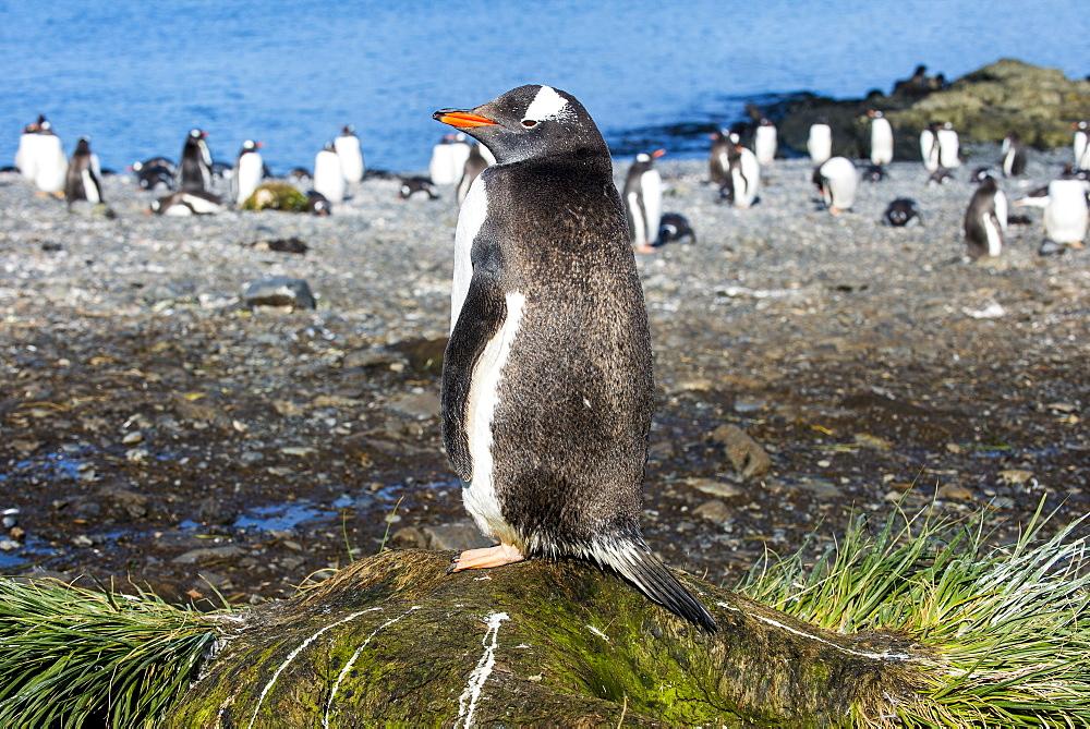Gentoo penguin (Pygoscelis papua) close up, Prion Island, South Georgia, Antarctica, Polar Regions