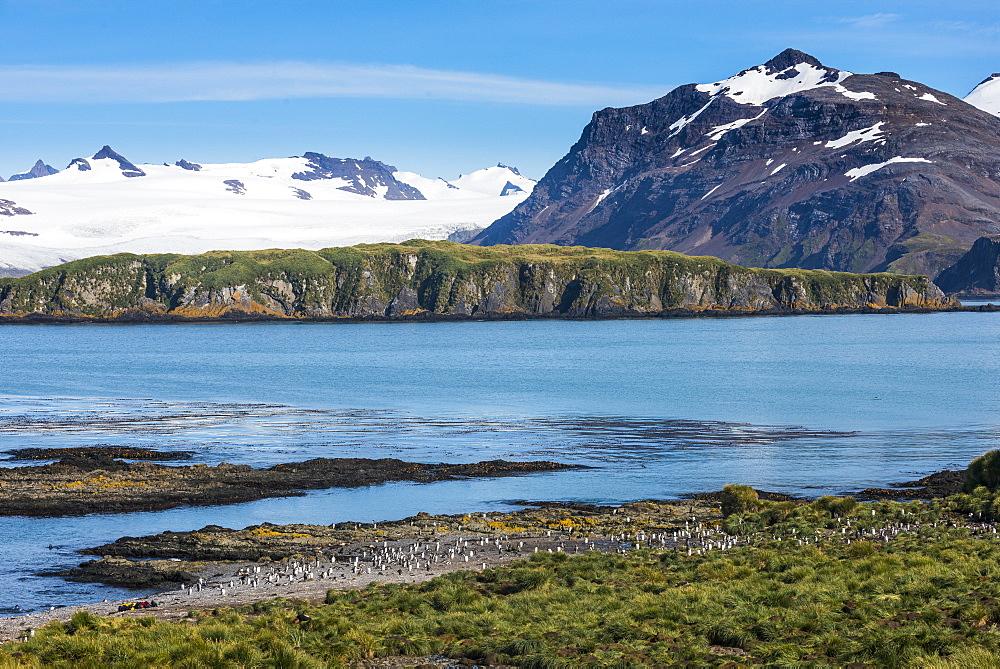 Gentoo penguin (Pygoscelis papua) colony, Prion Island, South Georgia, Antarctica, Polar Regions