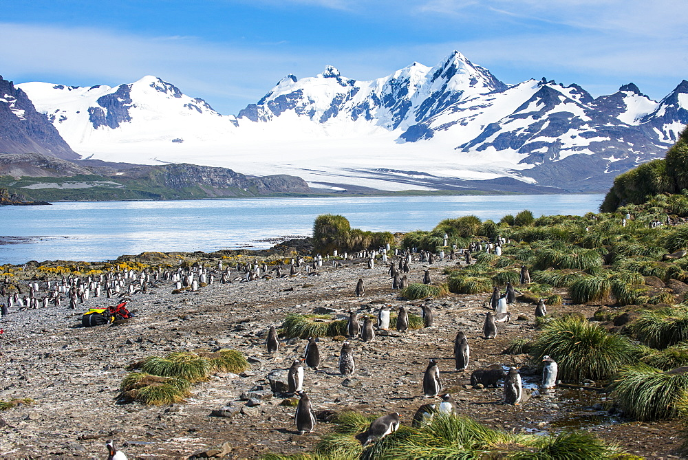 Gentoo penguin (Pygoscelis papua) colony, Prion Island, South Georgia, Antarctica, Polar Regions
