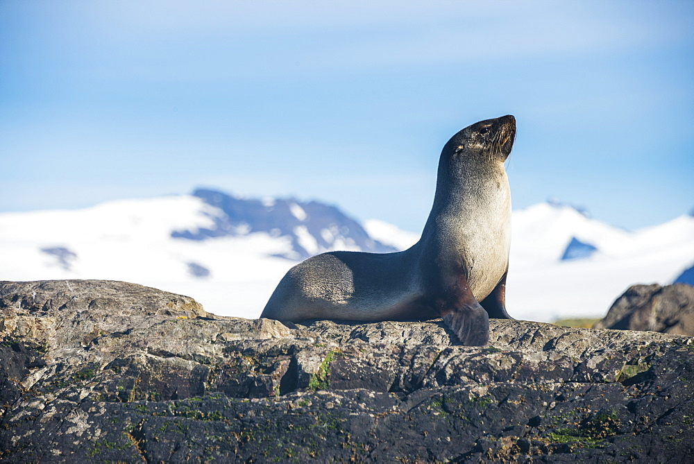 Antarctic fur seal (Arctocephalus gazella), Salisbury plain, South Georgia, Antarctica, Polar Regions