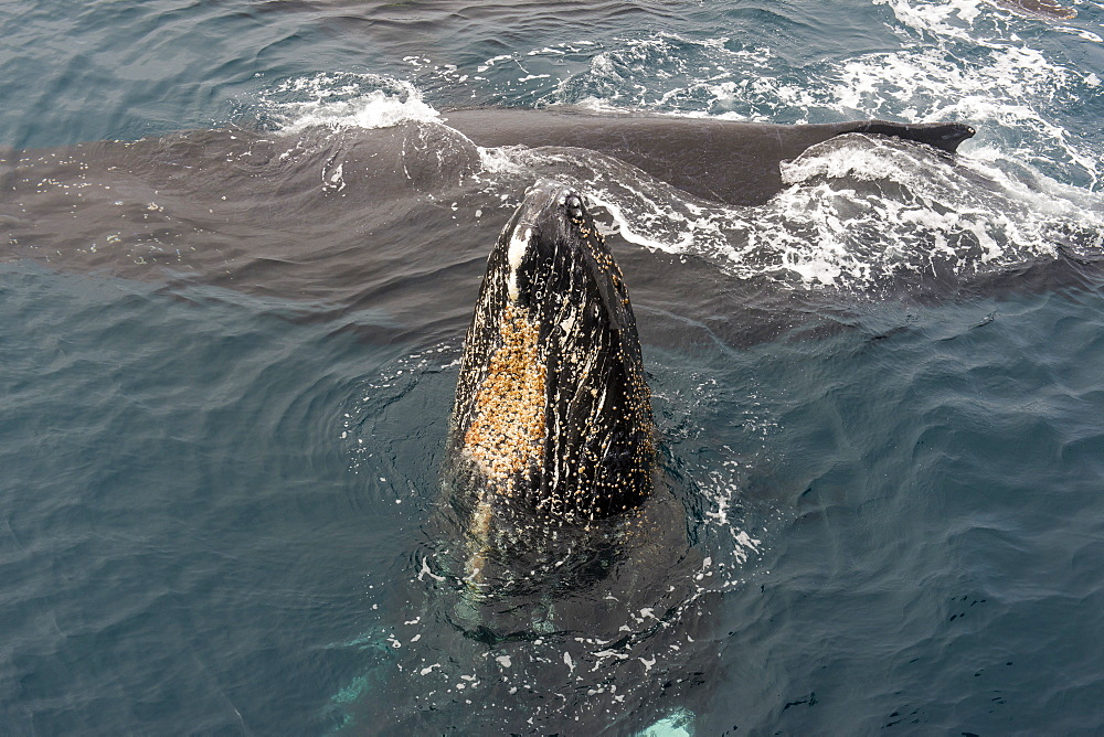 Humpback whale (Megaptera novaeangliae), South Sandwich Islands, Antarctica, Polar Regions