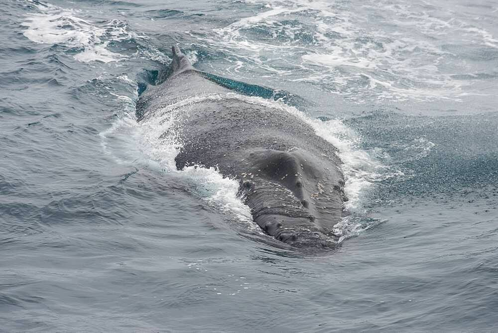 Humpback whale (Megaptera novaeangliae), South Sandwich islands, Antarctica