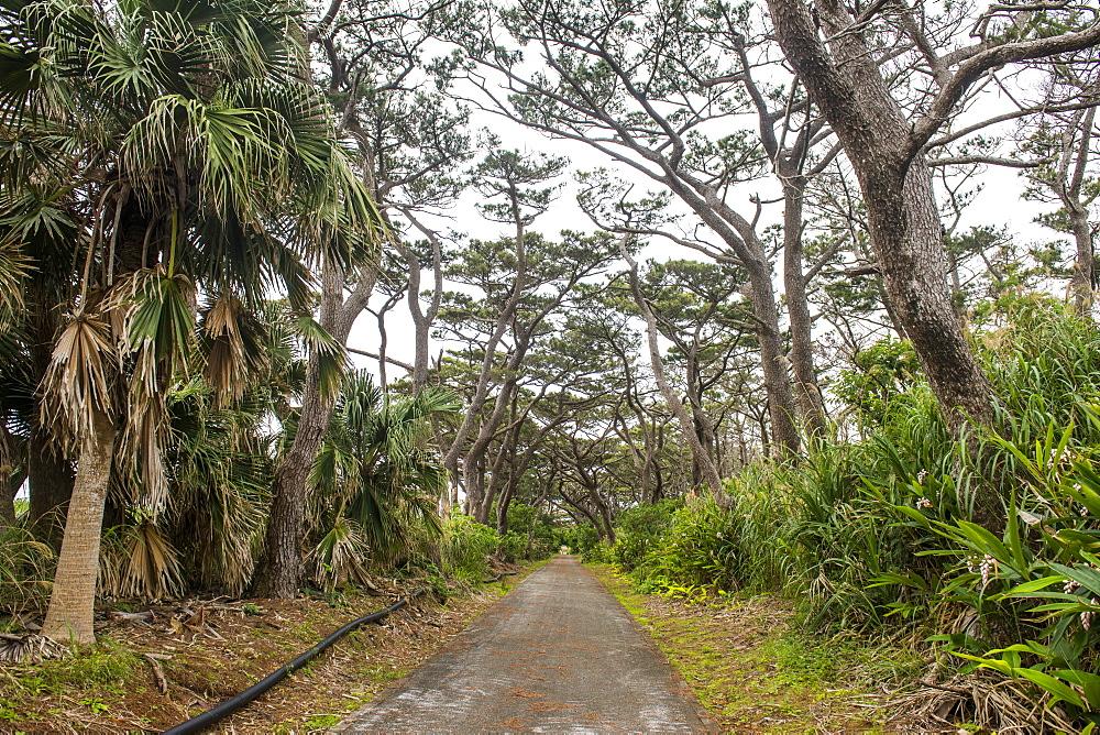 Beautiful road with trees on both sides, Minami Daito, Daito islands, Japan
