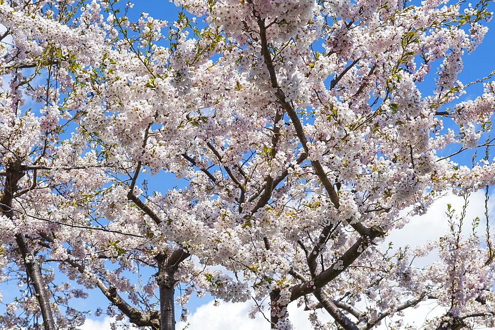Blooming cherry tree, Motomachi district, Hakodate, Hokkaido, Japan, Asia
