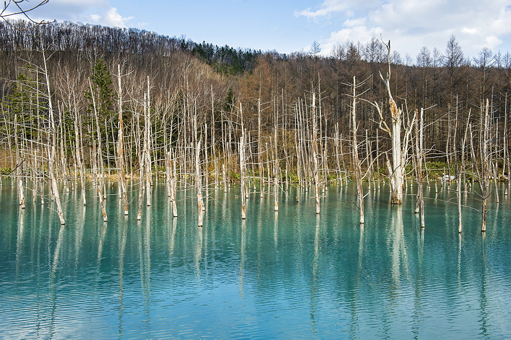 Blue Pond or Aoi Ike, Unesco world heritage sight Daisetsuzan National Park, Hokkaido, Japan