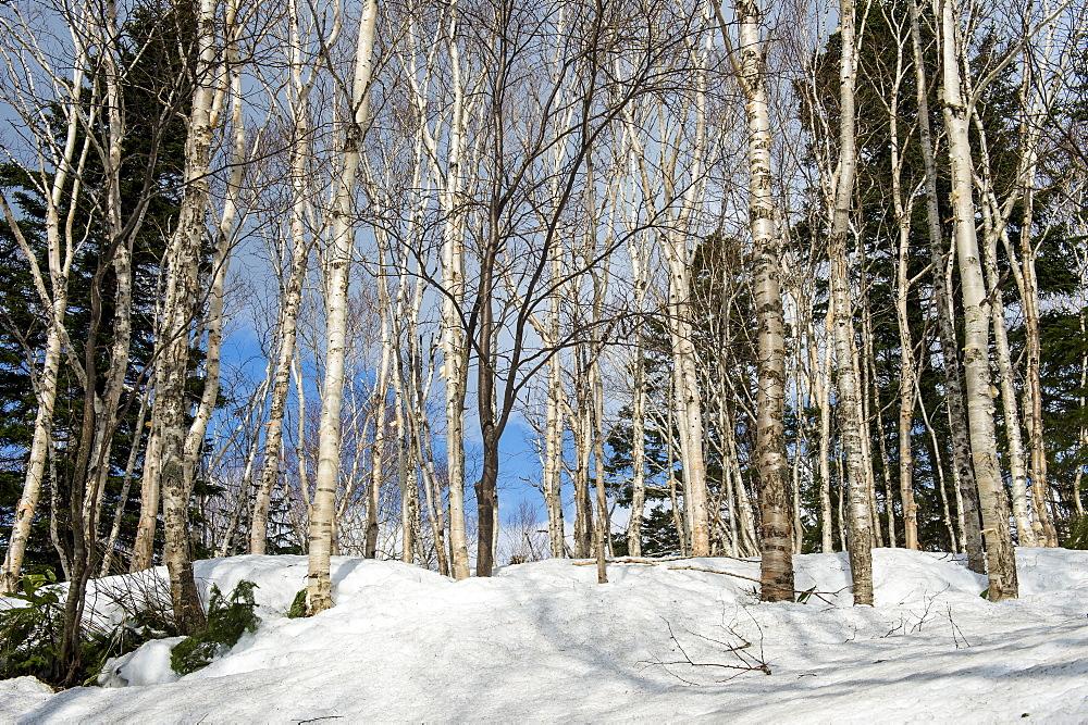 Birch tree forest in the Unesco world heritage sight Daisetsuzan National Park, Hokkaido, Japan