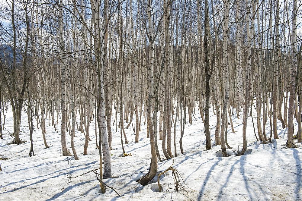 Birch tree forest, Furano, Hokkaido, Japan, Asia