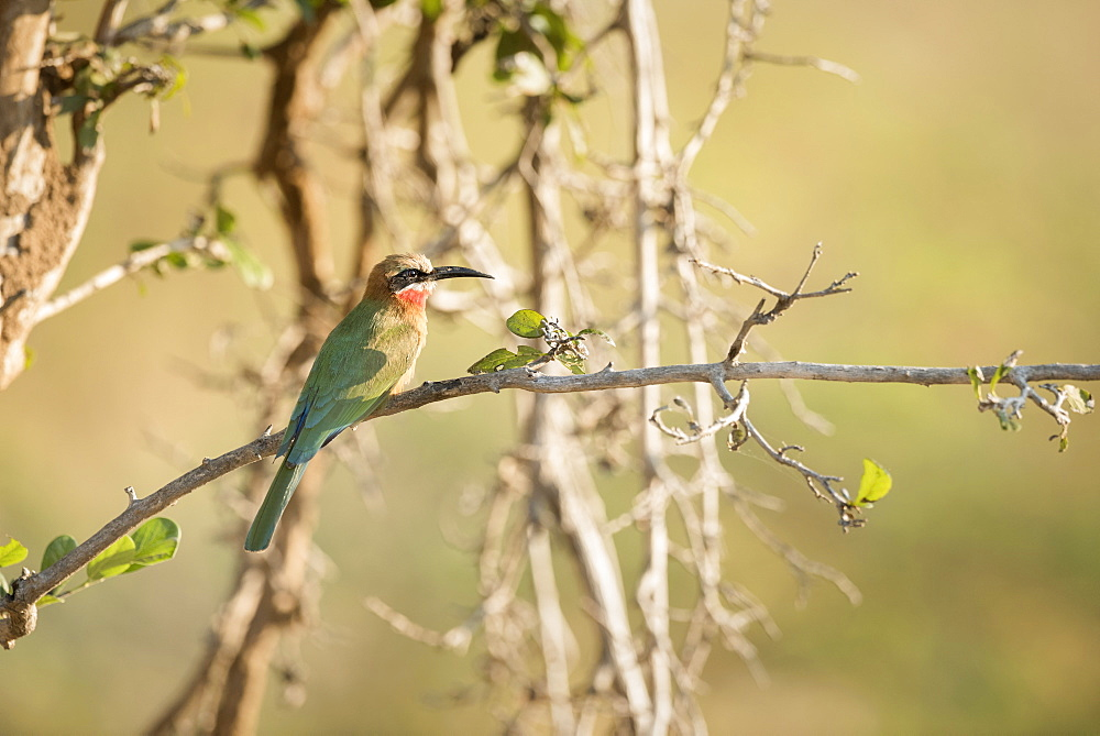 White Fronted Bee Eater (Merops Bullockoides), Zambia, Africa
