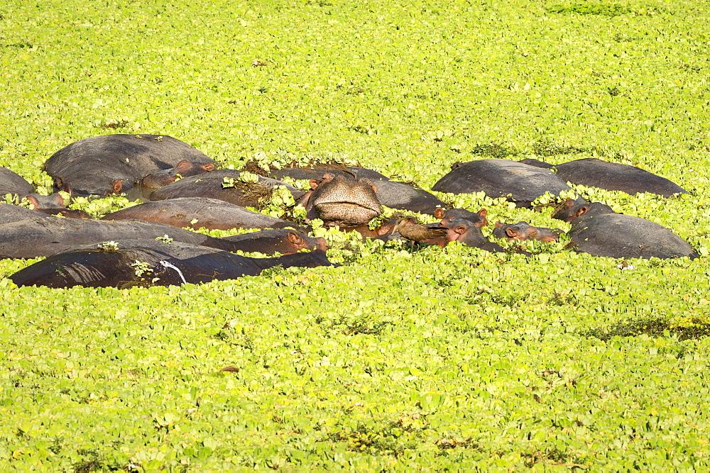 Hippopotamus (Hippopotamus Amphibious), Zambia, Africa - 1185-243