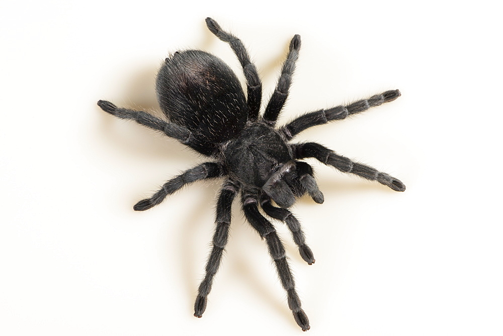 Brazilian Black Tarantula (Theraphosidae), captive, Brazil, South America