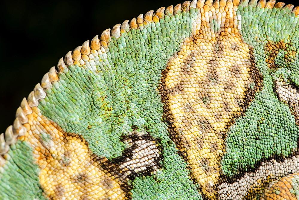 Yemen Chameleon (Chameleon Calyptratus), captive, Yemen, Middle East